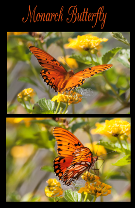 monarchbutterfly-capture-you-photography1