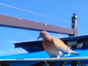 IMG_20150405_154137 The Laughing Dove - faded